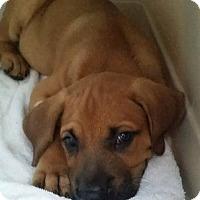 Adopt A Pet :: Dewey - Gainesville, FL