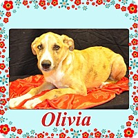 Adopt A Pet :: Olivia in CT - Manchester, CT