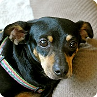 Adopt A Pet :: Sweet Pea - Surrey, BC