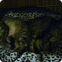 Adopt A Pet :: Fiona - Centerton, AR