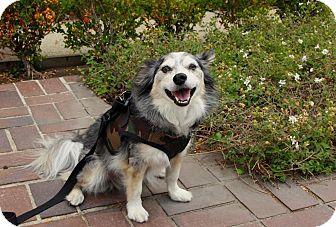 Australian Shepherd/Border Collie Mix Dog for adoption in Beverly Hills, California - HUNTER