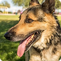 German Shepherd Dog Mix Dog for adoption in Phoenix, Arizona - Isaac