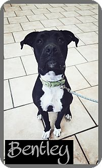 Boxer/Pit Bull Terrier Mix Dog for adoption in Mesa, Arizona - Bentley