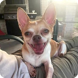 Chihuahua Mix Dog for adoption in Austin, Texas - Henry
