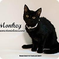 Domestic Shorthair Cat for adoption in Modesto, California - Monkey
