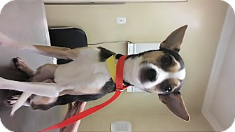 Chihuahua/Jack Russell Terrier Mix Dog for adoption in LAKEWOOD, California - Rico