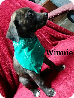 Boxer/Chow Chow Mix Puppy for adoption in Burlington, Vermont - Winnie