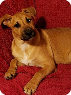 Boxer Mix Puppy for adoption in New Oxford, Pennsylvania - Pippin