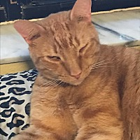 Domestic Shorthair Cat for adoption in Lauderhill, Florida - Max