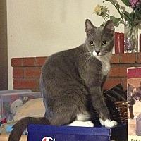 Adopt A Pet :: Gatsby - Santa Rosa, CA