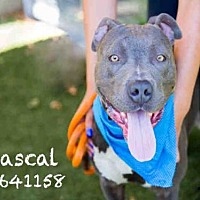 Adopt A Pet :: RASCAL - Los Angeles, CA