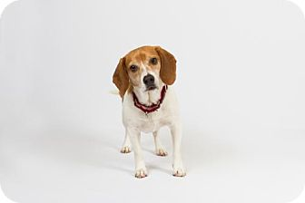 Beagle Dog for adoption in Richmond, Virginia - Bogey