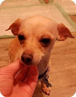 San Antonio Tx Chihuahua Mix Meet Zandra A Dog For