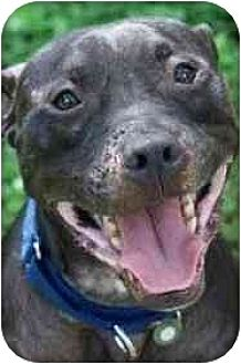American Pit Bull Terrier Dog for adoption in Dallas, Georgia - Bobbie Bouche