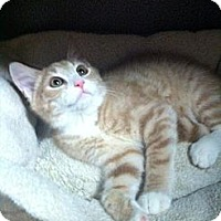Domestic Shorthair Cat for adoption in Mount Laurel, New Jersey - Coconut