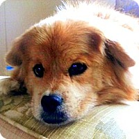 Adopt A Pet :: Abby (in KY) - Portland, ME