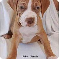 Adopt A Pet :: Julie - Gilbert, AZ