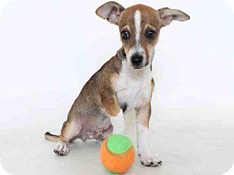 Burbank Ca Italian Greyhound Chihuahua Mix Meet Murphy A Puppy For Adoption