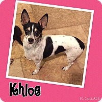 Rat Terrier/Chihuahua Mix Dog for adoption in Scottsdale, Arizona - Khloe
