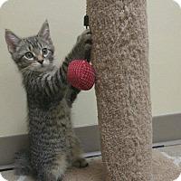Adopt A Pet :: Will - Balto, MD