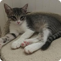 Domestic Shorthair Kitten for adoption in Bulverde, Texas - Tortilla