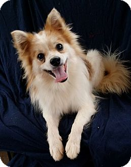 Pomeranian/Chihuahua Mix Dog for adoption in Lawrenceville, Georgia - Rudy
