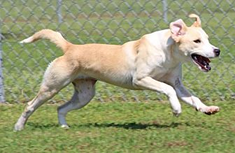 Labrador Retriever/Hound (Unknown Type) Mix Dog for adoption in Savannah, Tennessee - YaYa