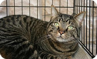 Domestic Shorthair Cat for adoption in Fort Worth, Texas - Harvey