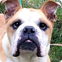 Adopt A Pet :: BOGART(MR. WIGGLES! ADORABLE!! - Wakefield, RI