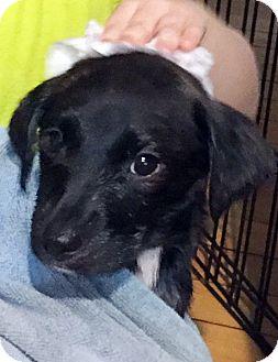 Labrador Retriever Mix Puppy for adoption in Harrison, New York - Socks