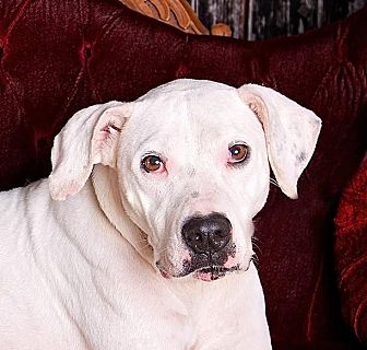 Dogo Argentino/Pit Bull Terrier Mix Dog for adoption in Cincinnati, Ohio - Ashling