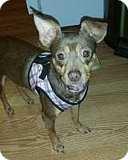 Miniature Pinscher Mix Dog for adoption in McDonough, Georgia - Missy