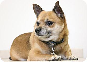 Chihuahua/Pomeranian Mix Dog for adoption in Edina, Minnesota - Tiko D161681