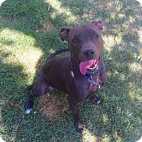Pit Bull Terrier/American Staffordshire Terrier Mix Dog for adoption in Cheyenne, Wyoming - Mary