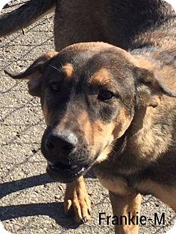 Rottweiler/Shepherd (Unknown Type) Mix Dog for adoption in Burlington, Vermont - Frankie