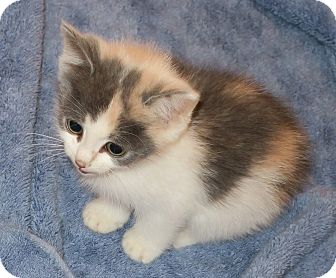 Domestic Longhair Kitten for adoption in Bedford, Virginia - Myrte