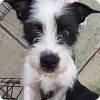 Adopt A Pet :: Eevee - Vacaville, CA
