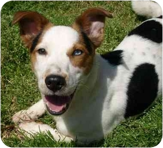 Corgi/Jack Russell Terrier Mix Dog for adoption in Harrah, Oklahoma - Toby