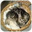Photo 1 - Domestic Shorthair Kitten for adoption in Boston, Massachusetts - Duncan and Clooney