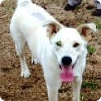 Adopt A Pet :: SNOWBALL - Ridgewood, NY