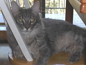 Domestic Mediumhair Cat for adoption in Sac/Auburn, California - Smooch