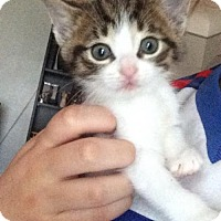 Adopt A Pet :: Bb litter - Arlen-ADOPTED - Livonia, MI