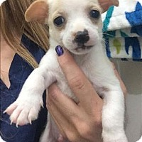 Adopt A Pet :: Jax - Chloe Pup - Encino, CA