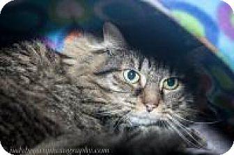 Domestic Longhair Cat for adoption in Wellesley, Massachusetts - Chessie