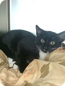 Domestic Shorthair Kitten for adoption in Lunenburg, Massachusetts - Page #2