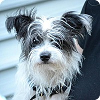 Papillon Mix Dog for adoption in Arlington Heights, Illinois - Chance #1200