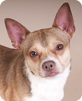 Chihuahua Mix Dog for adoption in Chicago, Illinois - Marty McFly