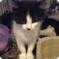 Maine Coon Kitten for adoption in Sunny Isles Beach, Florida - Shaina