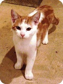 Domestic Shorthair Kitten for adoption in Lebanon, Pennsylvania - Owen