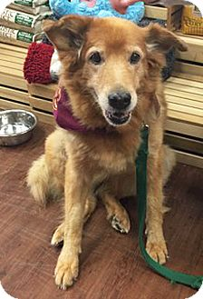 Golden Retriever Mix Dog for adoption in BIRMINGHAM, Alabama - Adele